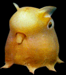 http://bunny.xeny.net/linked/Grimpoteuthis.png